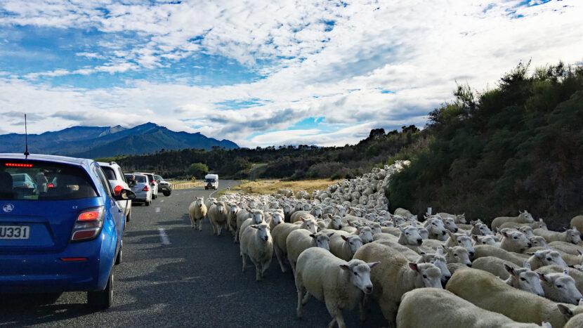途中、羊の渋滞に遭遇することも!