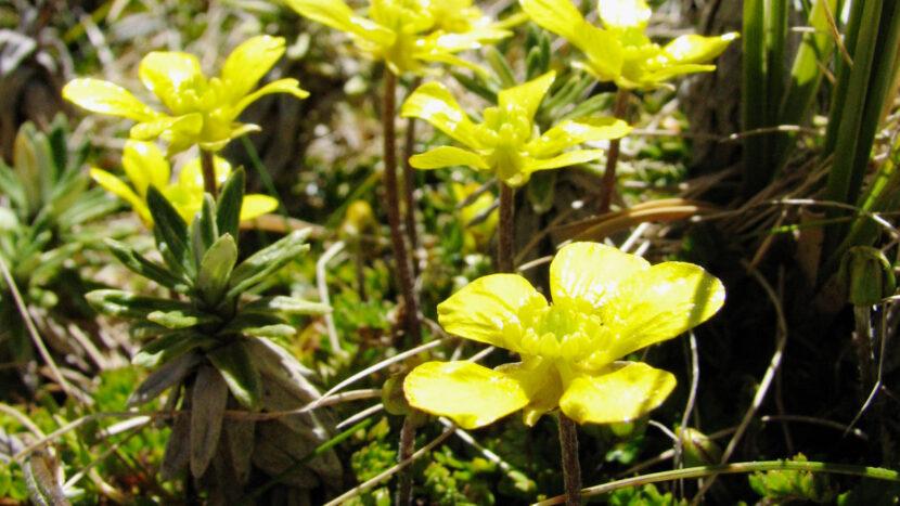 春はキンポウゲ科の花が見頃