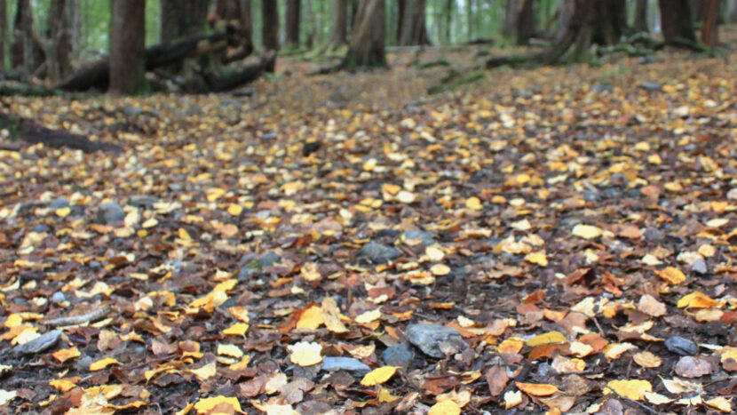 小さな落ち葉が綺麗な南極ブナの森