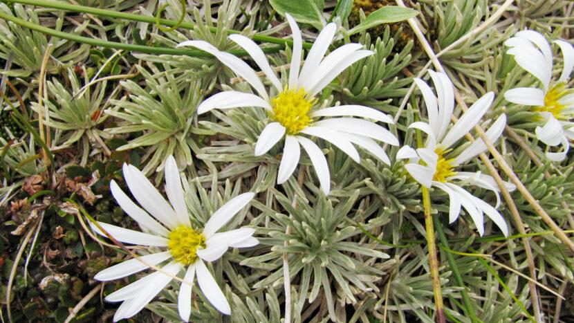 ガレ場に咲く高山植物